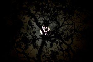 maan door de bomen; moon through the trees